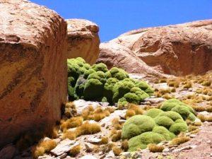 3000-летнее растение Ярета в Андах