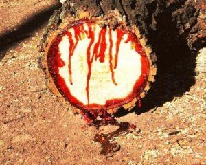 Кровавое Дерево Киаат