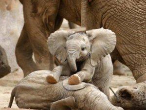 Невероятные эволюционные адаптации слонов