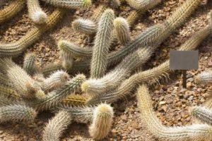 Ползающий по пустыне кактус — Ползучий Дьявол