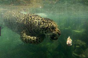 Ягуар любит поохотиться в воде