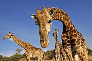 Жираф издает много звуков, но на низкой частоте