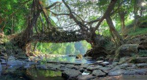 В Индии можно увидеть живые мосты