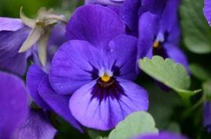Запах фиалки способен «усыплять» обонятельные рецепторы