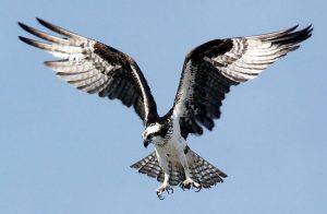 Скопа — птица, которая погибает из-за собственной цепкости