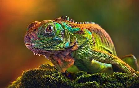 Хамелеон меняет цвет по настроению